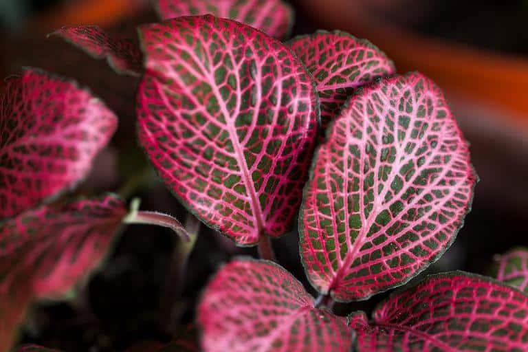 2. Red Nerve Plant