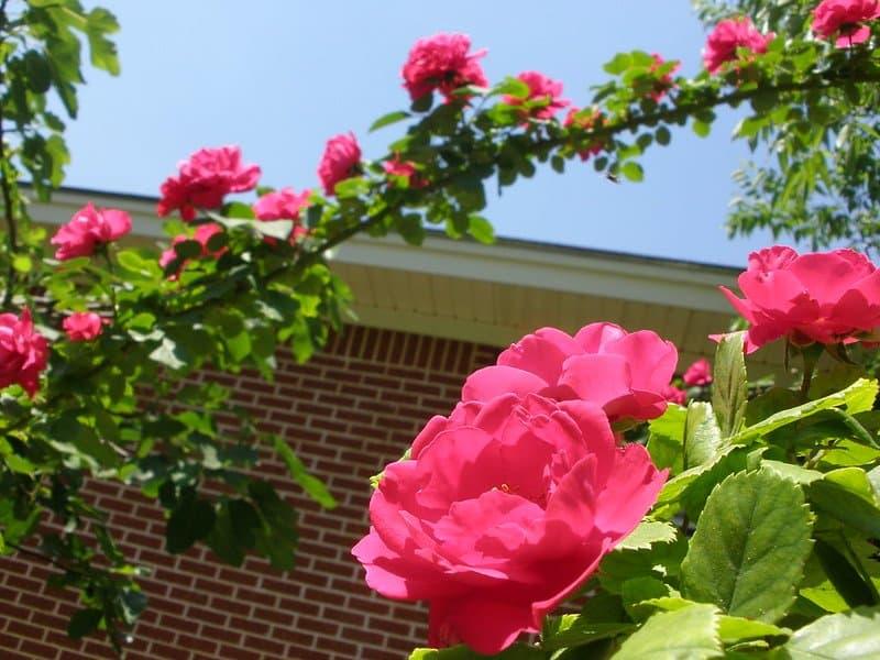 4 Climbing Roses