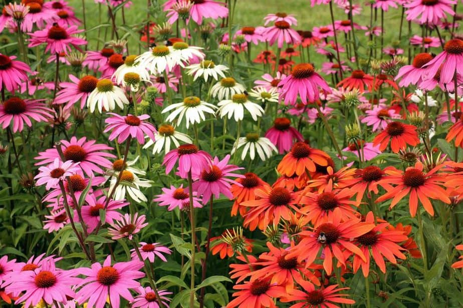 4 Colorful Coneflowers