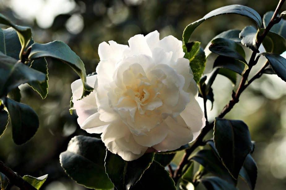 4 White Camellia