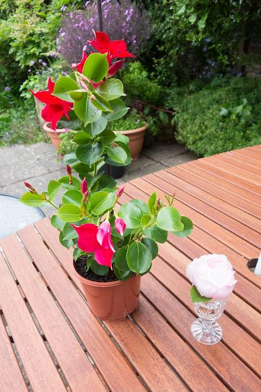 4 mandevilla in a pot