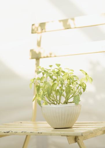 4. Nerve Plant in Sun