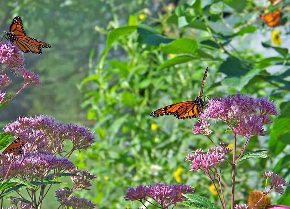 6 Milkweed Butterflies