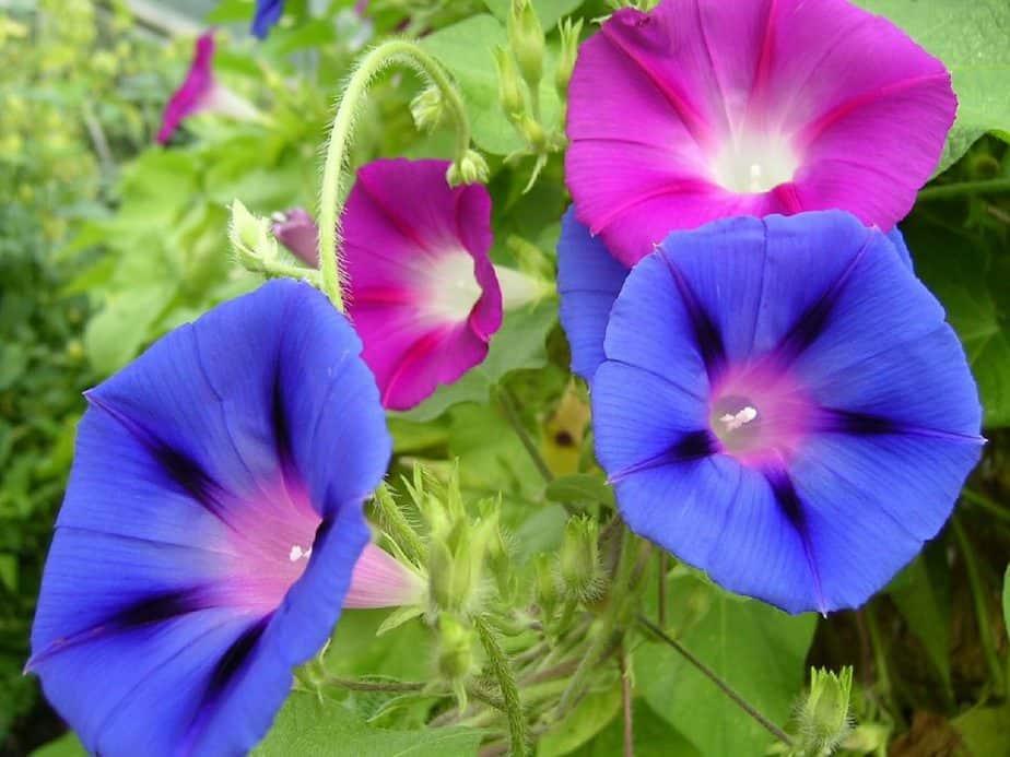 6 Purple Blue Morning Glories