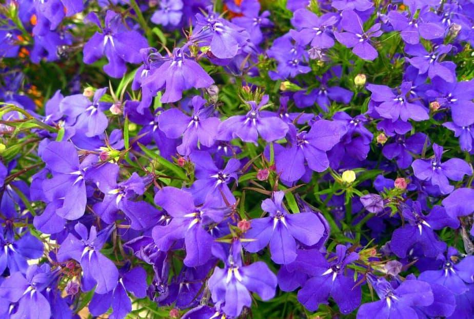 7 Lobelia Plant