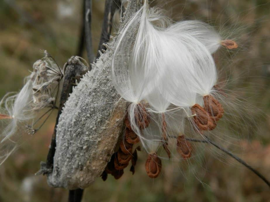 7 Milkweed Seeds