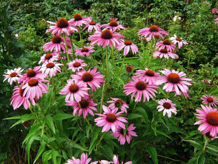 8 Coneflower Patch