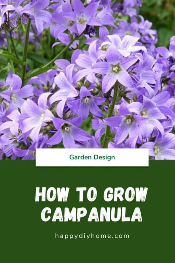 Campanula cover image