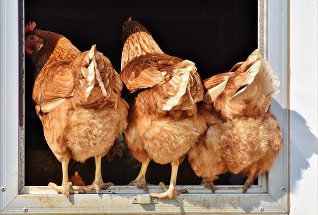 Chicken 1 Start