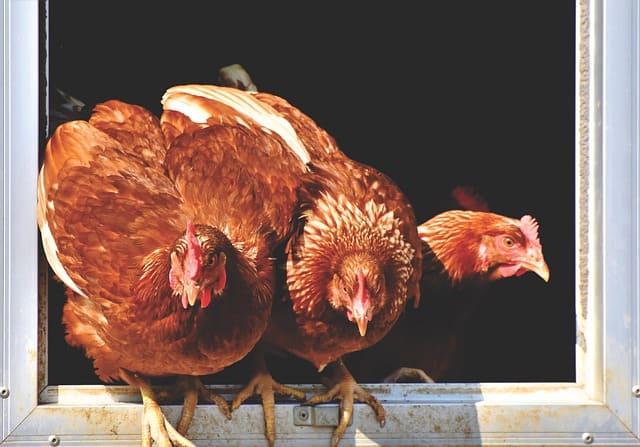 Chicken 4 End