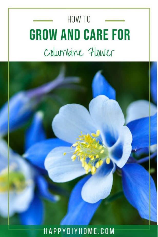 Columbine Flower 1