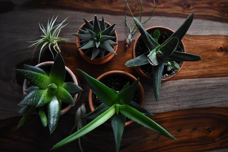 1 Aloe Plants