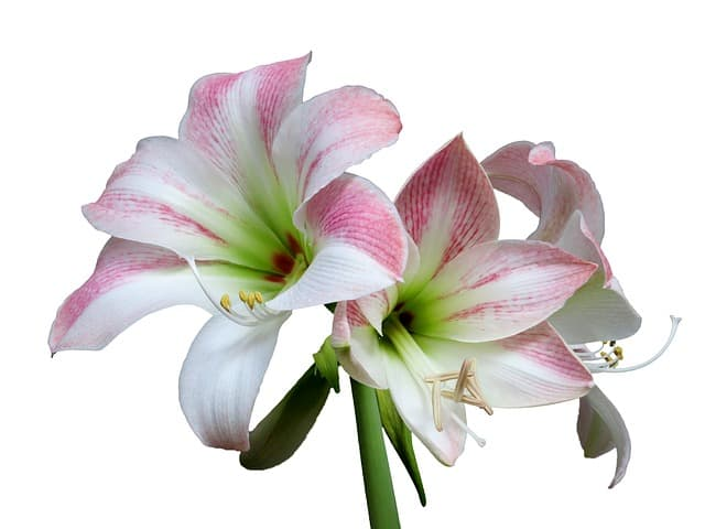 1 Elegant and attractive amaryllis is one of the most popular houseplants