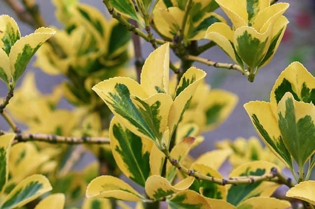 10 Golden Euonymus