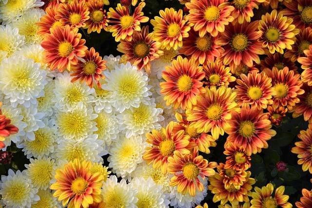 19 Chrysanthemums