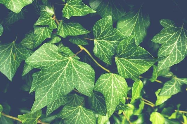 23 English Ivy