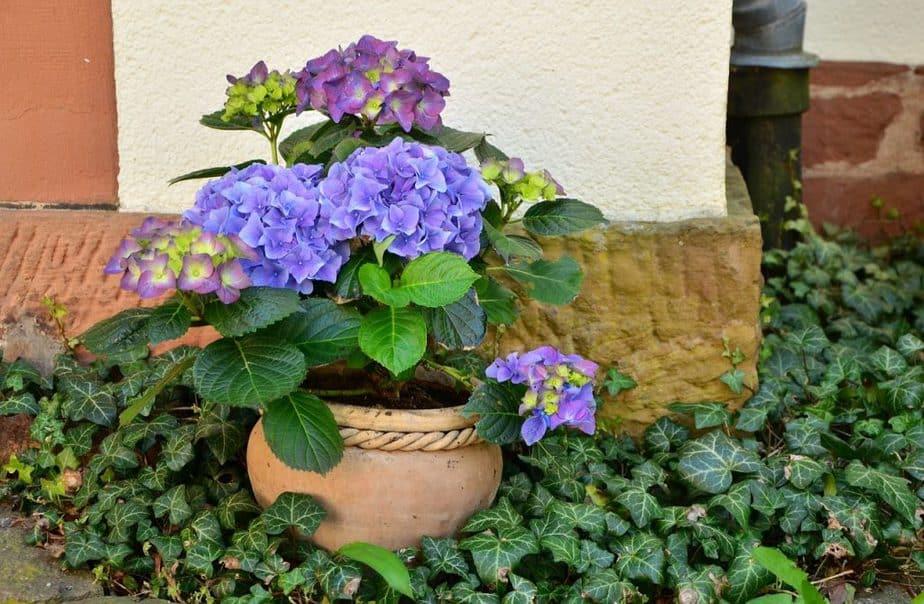 3 Potted Hydrangea