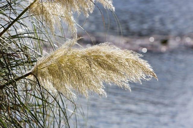 31 Pampas Grass