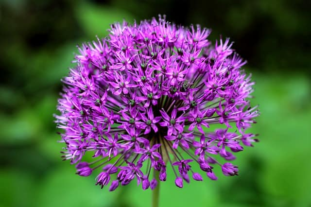 34 Allium