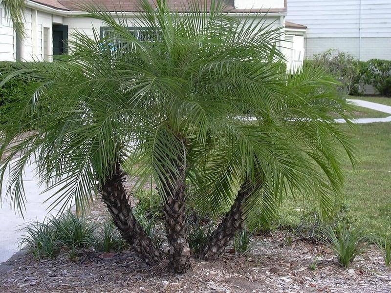 35. Large driveway entry corner Pygmy Date Palm