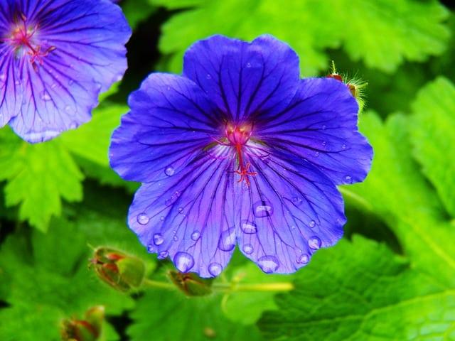 4 Hardy Geranium