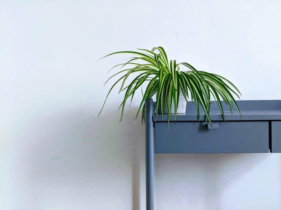 7 Spider Plant