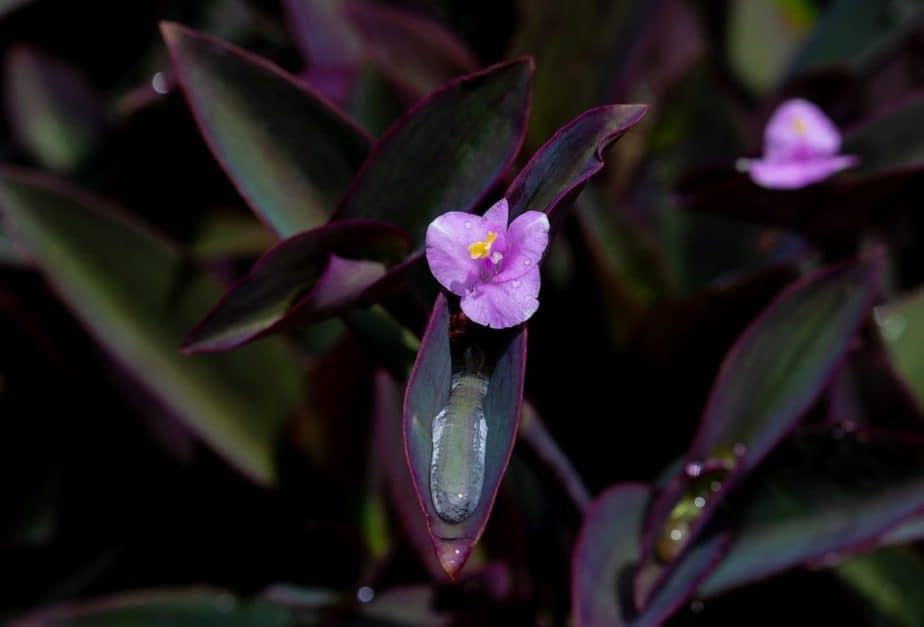 9 Purple Tradescantia
