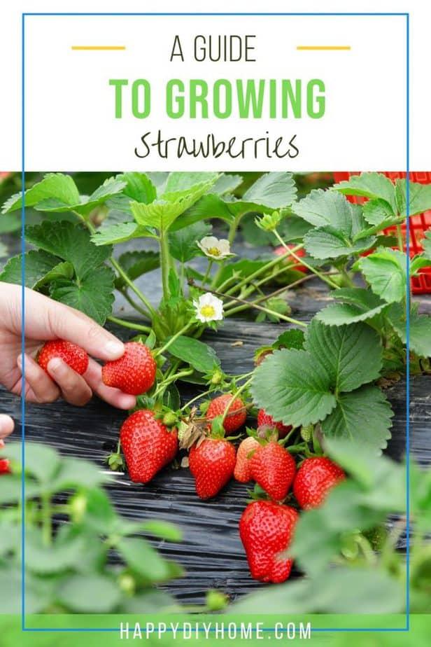 Growing Strawberries 1