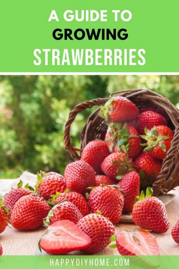 Growing Strawberries 2