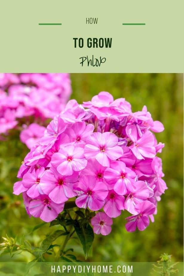 How to Grow Phlox 1