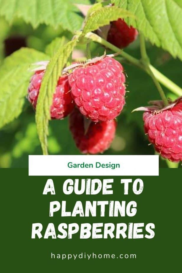 Planting Raspberries Canva 1