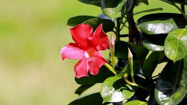 1 Also known as rocktrumpet or funnel flower