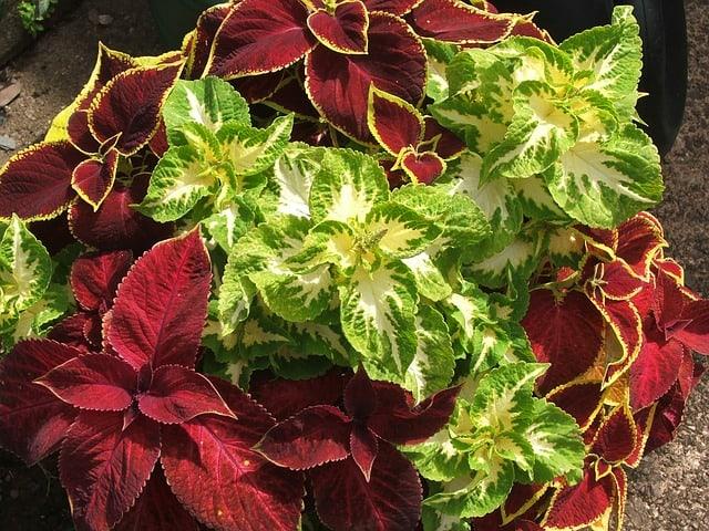 1 Coleus Plants