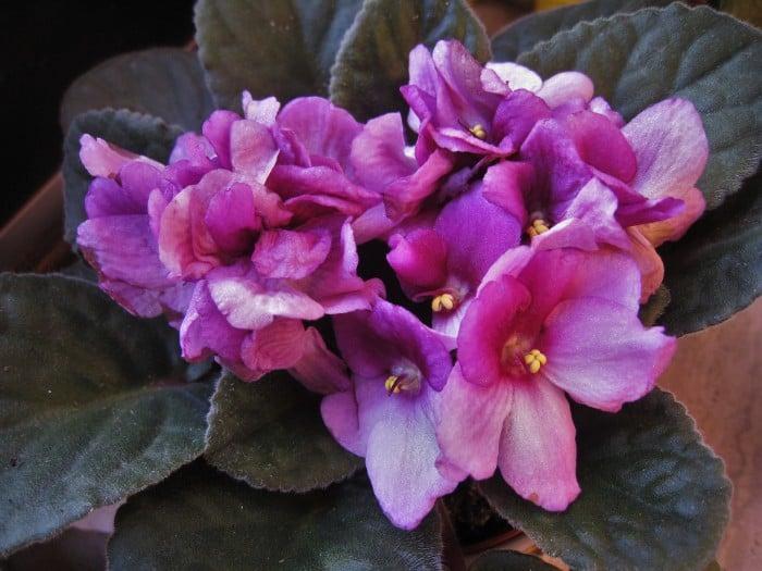 17 African Violets