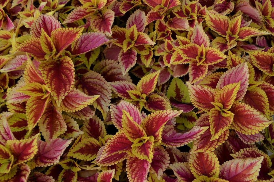 4 Coleus Plants