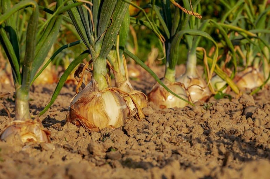 4 Row of Onions