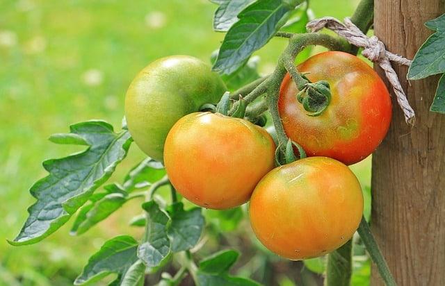 6 Tomato Plant