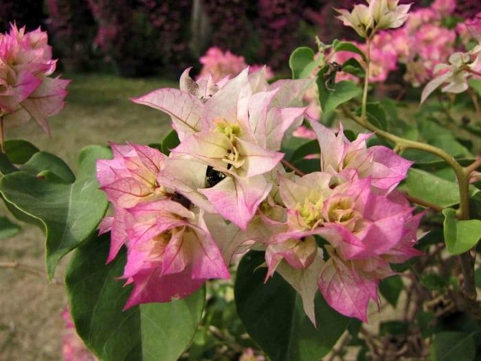 6. Cherry Blossom