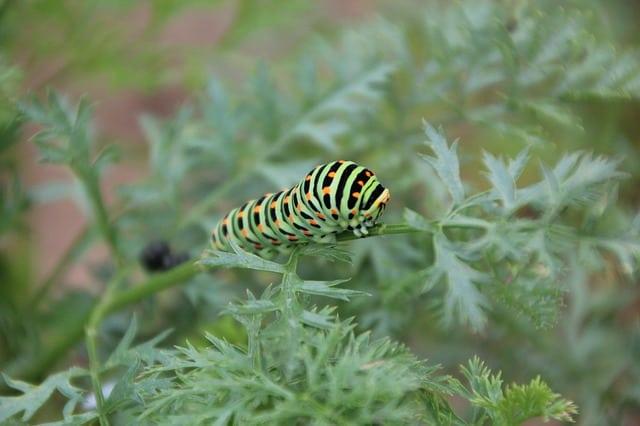 7 Swallowtail Caterpillar