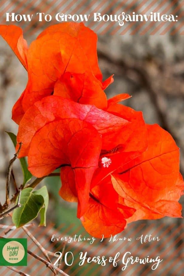 Bougainvillea Plant 2