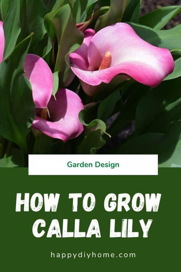 Calla Lily Cover Image 1