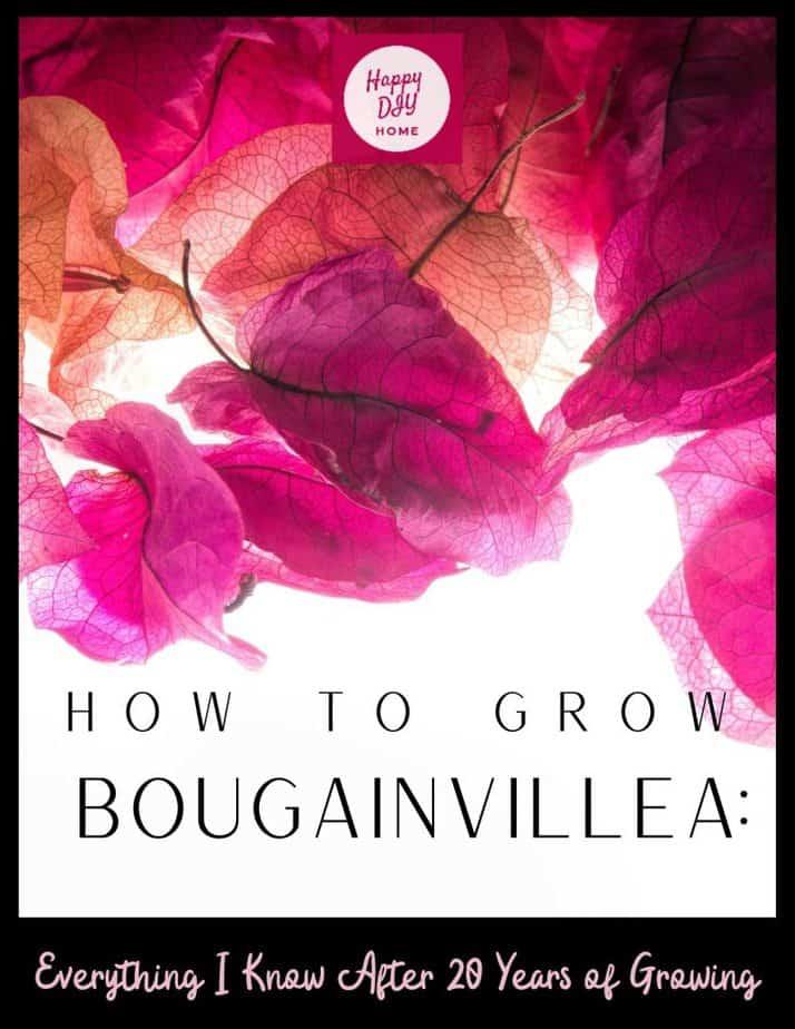 Growing Bougainvillea