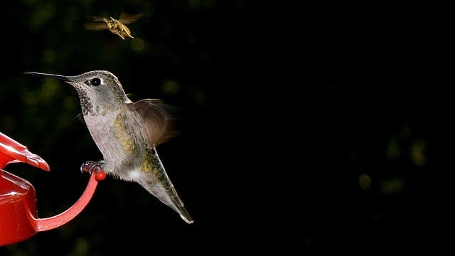 Hummingbird Sitting on a Feeder