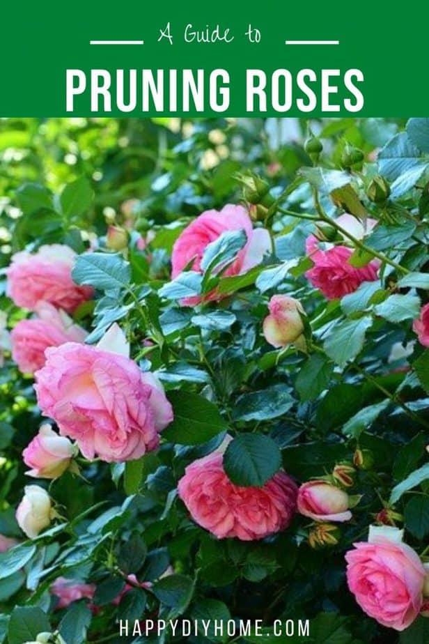 Pruning Roses 2