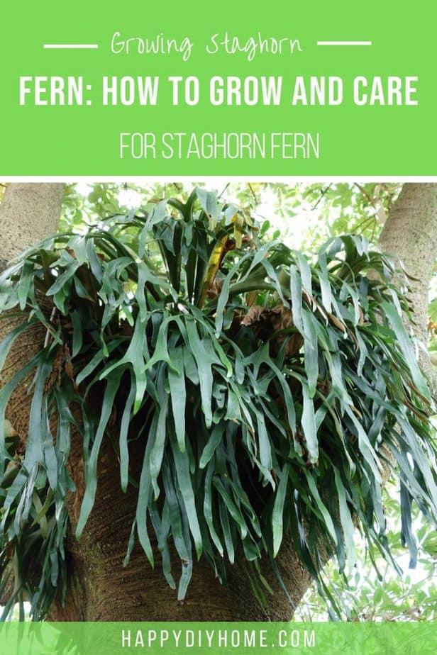 Staghorn Fern 1