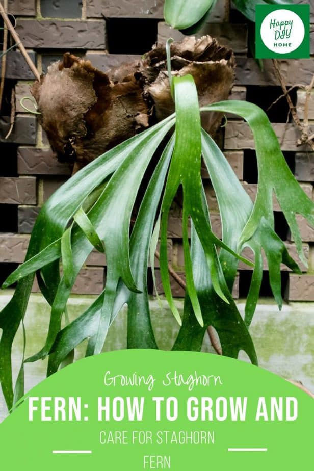 Staghorn Fern 2