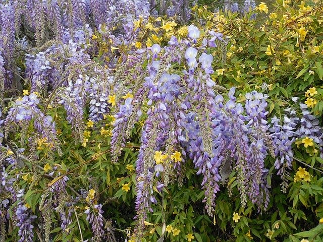 1 Aromatic and attractive the flowers of the wisteria vine