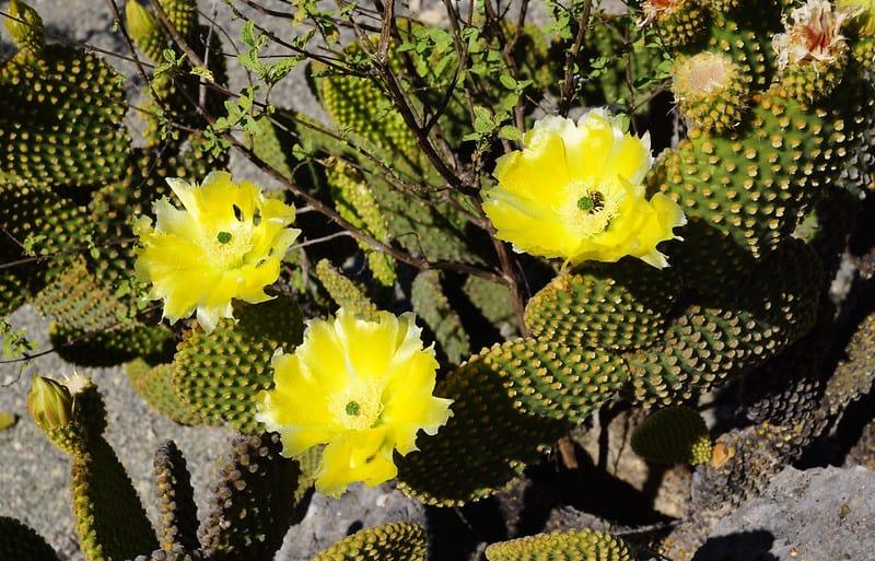 1 Bunny Ears Cactus