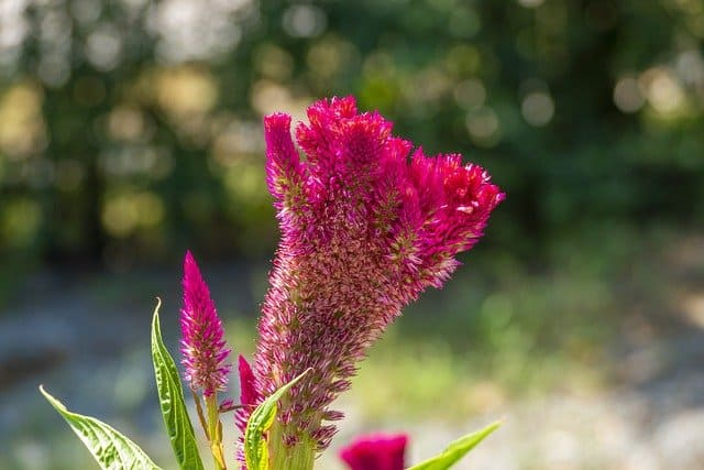 1 Cockscomb or wool flower is an eye catching addition to even the smallest garden
