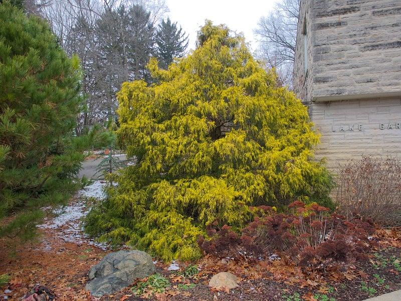 1 Larger False Cypress